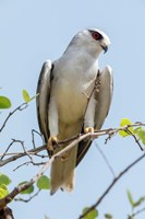 India, Madhya Pradesh, Kanha National Park Portrait Of A Black-Winged Kite On A Branch Fine-Art Print