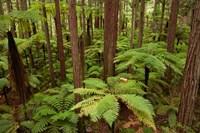Redwoods Treewalk At The Redwoods, Rotorua, North Island, New Zealand Fine-Art Print