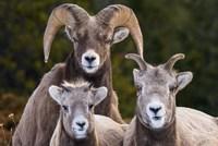 Alberta, Jasper Bighorn Sheep Ram With Juveniles Fine-Art Print
