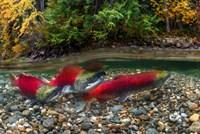 British Columbia, Adams River Sockeye Salmon Split Shot Fine-Art Print