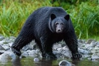 British Columbia Black Bear Searches For Fish At Rivers Edge Fine-Art Print