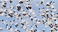 British Columbia Reifel Bird Sanctuary, Snow Geese Flock In Flight Fine-Art Print