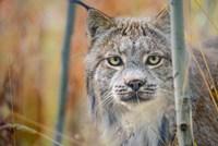 Yukon, Whitehorse, Captive Canada Lynx Portrait Fine-Art Print