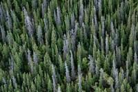 Yukon, Kluane National Park Mix Of Living And Dead White Spruce Trees Fine-Art Print