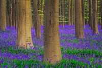 Europe, Belgium Hallerbos Forest With Trees And Bluebells Fine-Art Print
