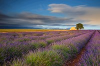 France, Provence, Valensole Plateau Lavender Rows And Farmhouse Fine-Art Print