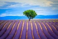 Europe, France, Provence, Valensole Plateau Field Of Lavender And Tree Fine-Art Print