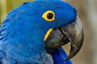 Blue Hyacinth Macaw, Anodorhynchus Hyacinthinus Fine-Art Print