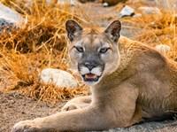 Mountain Lion, Cougar, Puma Concolor Fine-Art Print