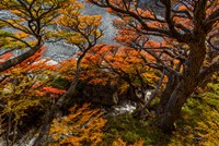 Argentina, Los Glaciares National Park Lenga Beech Trees In Fall Fine-Art Print