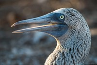 Galapagos Islands, North Seymour Island Blue-Footed Booby Portrait Fine-Art Print