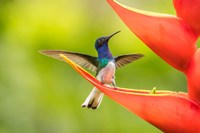 Costa Rica, Sarapiqui River Valley, Male White-Necked Jacobin On Heliconia Fine-Art Print