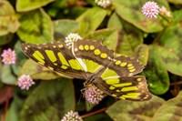 Costa Rica, La Paz River Valley Captive Butterfly In La Paz Waterfall Garden Fine-Art Print
