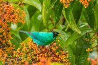 Costa Rica, Arenal Green Honeycreeper And Berries Fine-Art Print