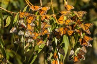 California, San Luis Obispo County Clustering Monarch Butterflies On Branches Fine-Art Print
