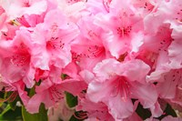 Evergreen Azalea Blooms In The Spring And Summer Fine-Art Print