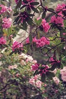 Rhododendrons Fine-Art Print