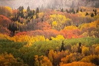 Colorado, Gunnison National Forest, Forest In Autumn Colors Fine-Art Print
