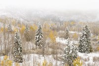 Colorado, White River National Forest, Snowstorm On Forest Fine-Art Print