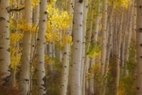 Colorado, Gunnison National Forest, Aspen Trees Highlighted At Sunrise Fine-Art Print