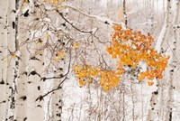 Colorado, White River National Forest, Snow Coats Aspen Trees In Winter Fine-Art Print