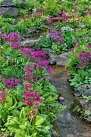 Marsh Primrose Along Small Stream, Winterthur Gardens, New Castle County, Delaware Fine-Art Print