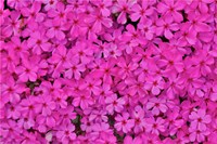 Pink Phlox, Mt, Cuba Center, Hockessin, Delaware Fine-Art Print