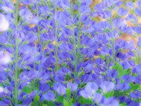 Blue Wild Indigo, Baptisia Australis, A Native American Wildflower Fine-Art Print