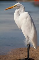 Great Egret (Ardea Alba) On Tigertail Beach Lagoon, Marco Island, Florida Fine-Art Print