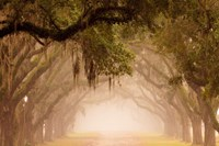 Georgia, Savannah, Wormsloe Plantation Drive In The Early Morning Fog Fine-Art Print