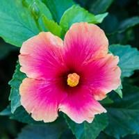 Tropical Hibiscus Flower, Maui, Hawaii Fine-Art Print