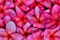 Plumeria Flower Grouping, Maui, Hawaii Fine-Art Print