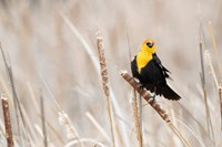 Idaho, Market Lake Wildlife Management Area, Yellow-Headed Blackbird On Cattail Fine-Art Print
