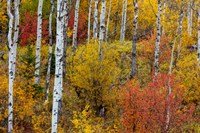 Aspen Grove In Peak Fall Colors In Glacier National Park, Montana Fine-Art Print