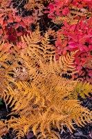 Autumn Ferns And Ground Cover, Glacier National Park, Montana Fine-Art Print