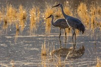Sandhill Cranes In Water Fine-Art Print