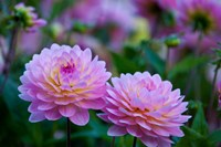 Oregon, Shore Acres State Park Dahlias In Garden Fine-Art Print