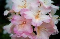 Oregon, Shore Acres State Park Rhododendron Flowers Close-Up Fine-Art Print