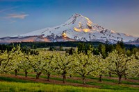 Oregon Pear Orchard In Bloom And Mt Hood Fine-Art Print
