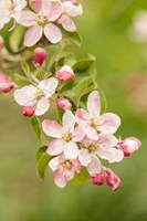 Hood River, Oregon, Close-Up Of Apple Blossoms Fine-Art Print