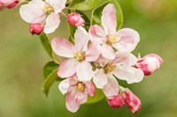 Hood River, Oregon, Apple Blossoms In The Nearby Fruit Loop Area Fine-Art Print