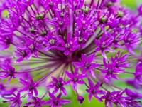 Close-Up Of Flowering Bulbous Perennial Purple Allium Flowers Fine-Art Print