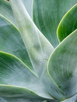 Close-Up Of The Tropical Agave Plant Fine-Art Print