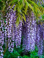 Purple Wisteria Blossoms Hanging From A Trellis Fine-Art Print