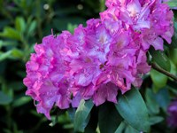 Large Pink Rhododendron Blossoms In A Garden Fine-Art Print
