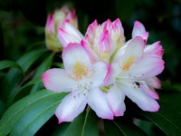 Variegated Pink And White Rhododendron In A Garden Fine-Art Print