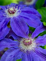 Close-Up Of A Blue Clematis Fine-Art Print