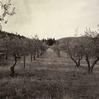 Tuscan Olive Grove Fine-Art Print
