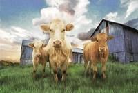 Three Curious Calves Fine-Art Print