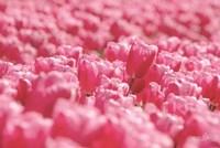 Pink Field Fine-Art Print